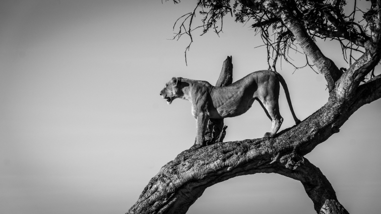 Early one morning, we saw a lioness in a tree scouting for prey.